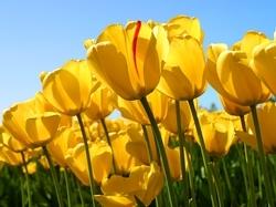 48603_intro_Tulips